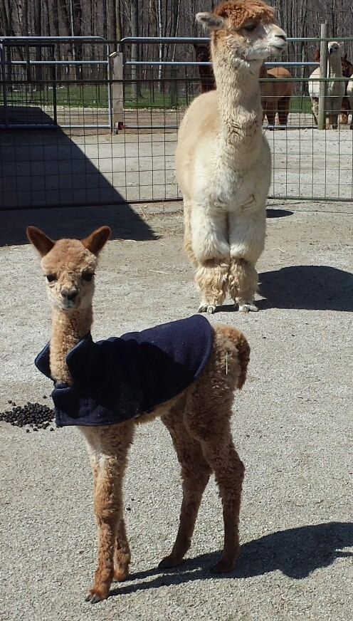 Meet Quigley our first cria of 2014